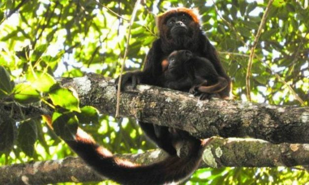 Filhote de macaco de espécie ameaçada nasce na Floresta da Tijuca