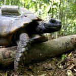 Após 200 anos jabutis extintos voltam ao Parque Nacional da Tijuca